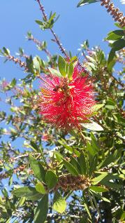 Callistemon citrinus Invasive Species NEMBA category 3 Spargo Landscape Consultants