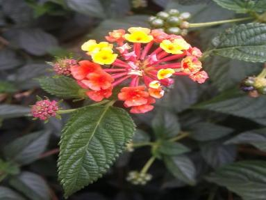 Lantana NEMBA Category 1b Invasive Species Spargo Landscape Consultants